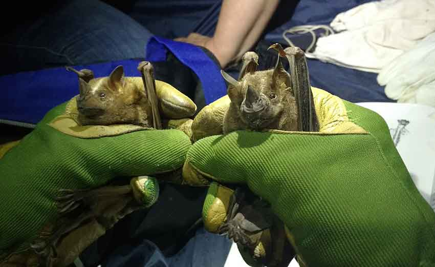 There are 138 species of bats in Mexico.