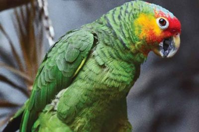 A red-lored amazon parrot.
