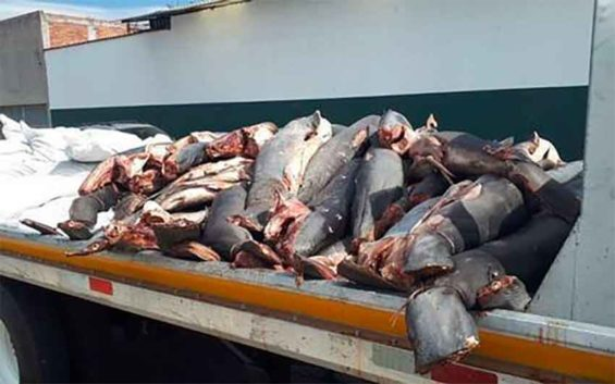 Shark carcasses found on the roadside in Michoacán.
