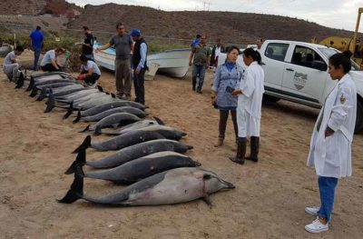 Dead dolphins in La Paz yesterday.