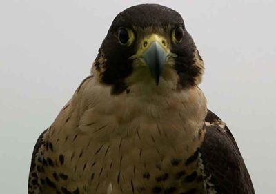 One of the falcons that patrols the skies above Mexico City's airport.