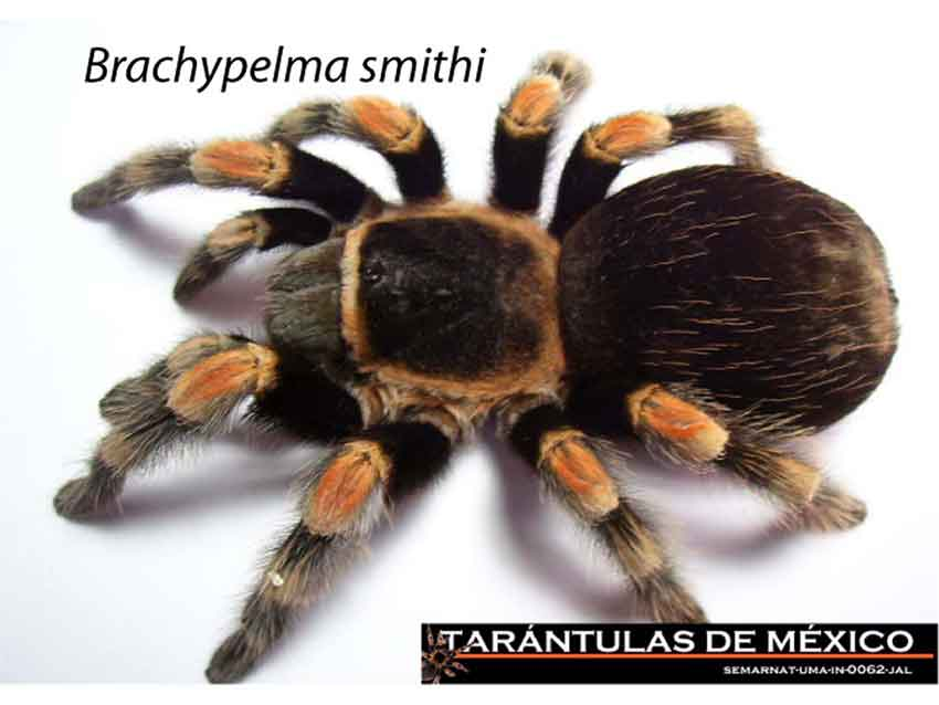 The Mexican redknee tarantula: in danger of extinction.