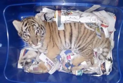 The young tiger found yesterday in Mexico City.