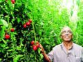 Almendra and his hydroponic tomatoes.