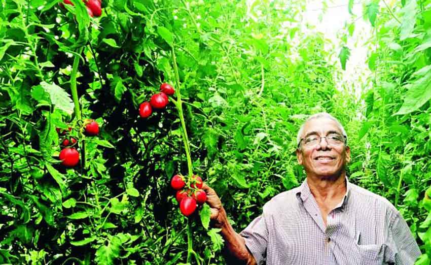 Almendra and his hydroponic tomatoes.