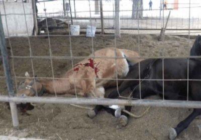 Dead horses on the ranch in Tamaulipas.