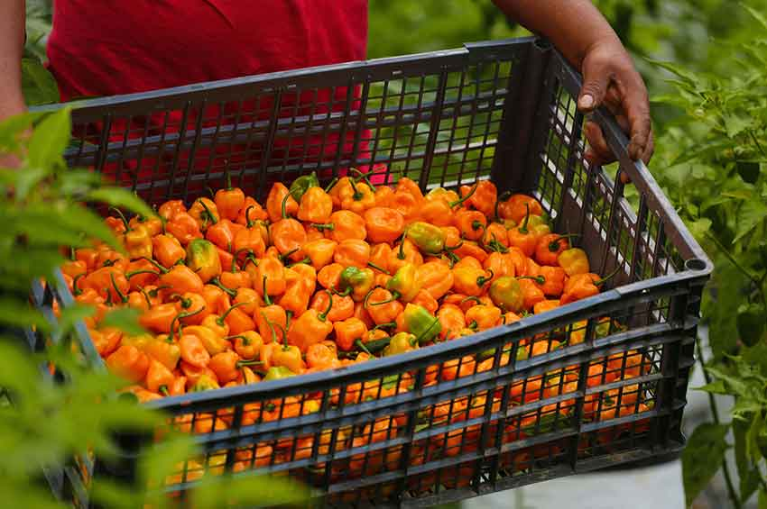 The habaneros behind Agrocoin: a hot investment?