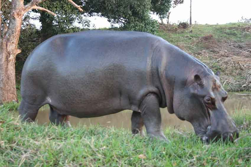 Tyzon the hippopotamus, making himself at home in Veracruz.
