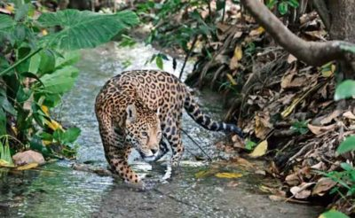 Jaguar numbers have seen an increase in Mexico.
