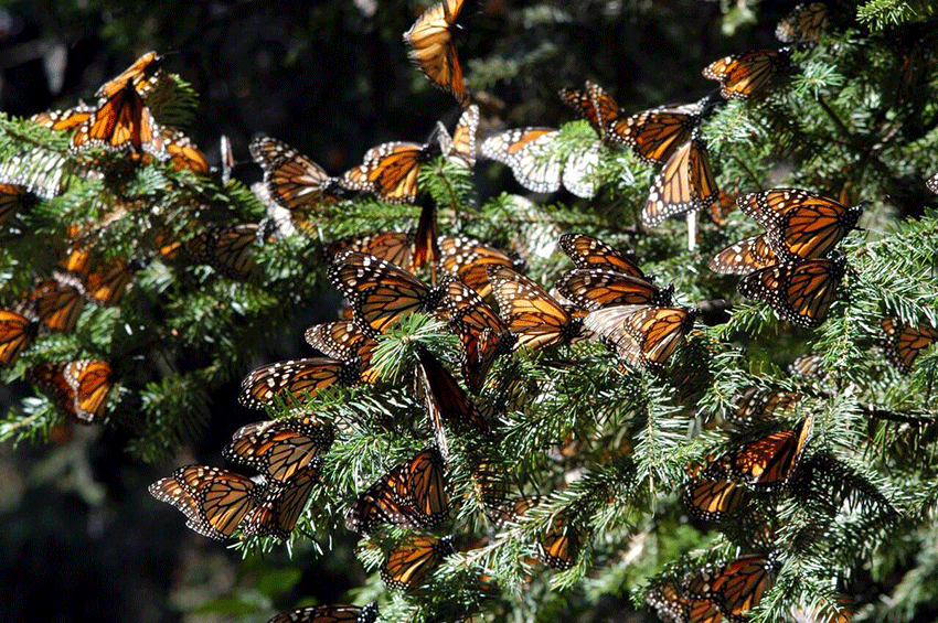 A cluster of butterflies in a Mexican forest.