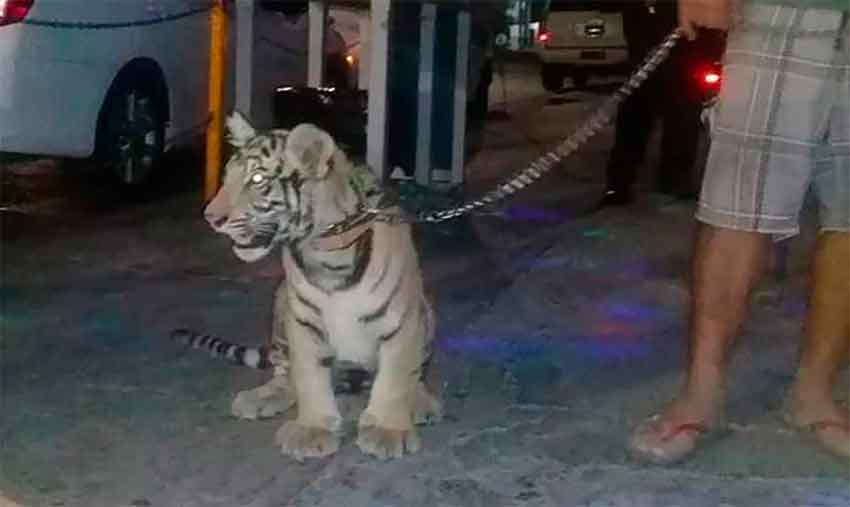 The young tiger out for a walk in Salina Cruz.