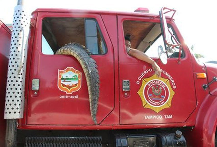 crocodile in fire truck