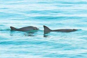 The vaquita porpoise: new protection measure.