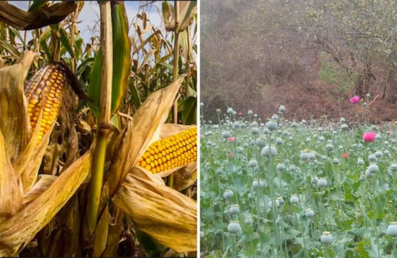 Corn or poppies?
