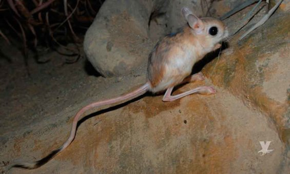 The San Quintín variety of kangaroo rat.