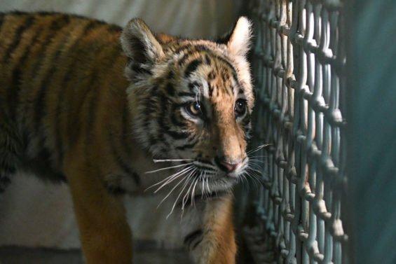 Niño the tiger, abandoned at the border.