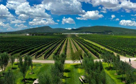A vineyard in Querétaro.