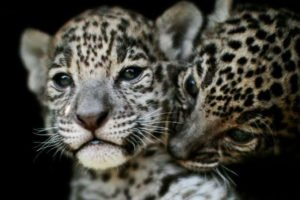 Jaguar cubs at a zoo in México state. The numbers of their wild counterparts are up.