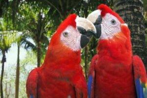 Scarlet macaws: more have been released in Veracruz.