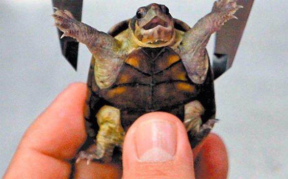 The mud turtle found only in Puerto Vallarta.