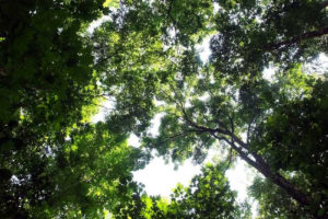 View of the canopy in Jalisco's maple forest.