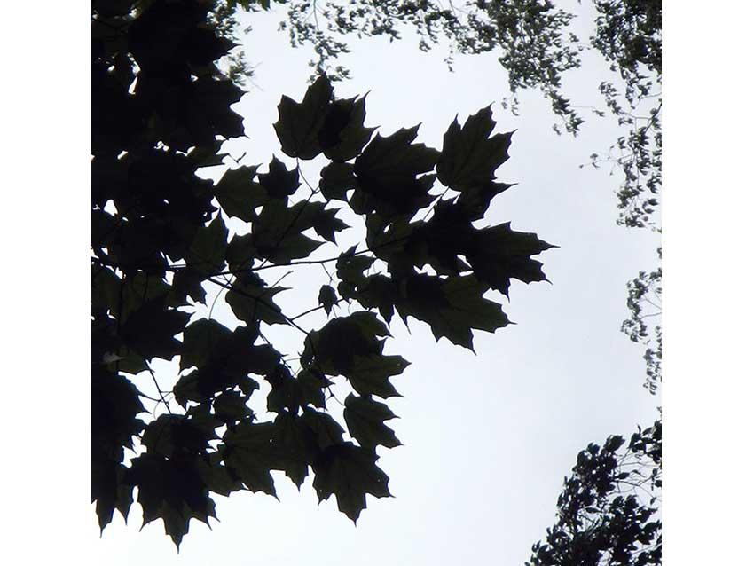 A new species of maple: Acer binzayedii