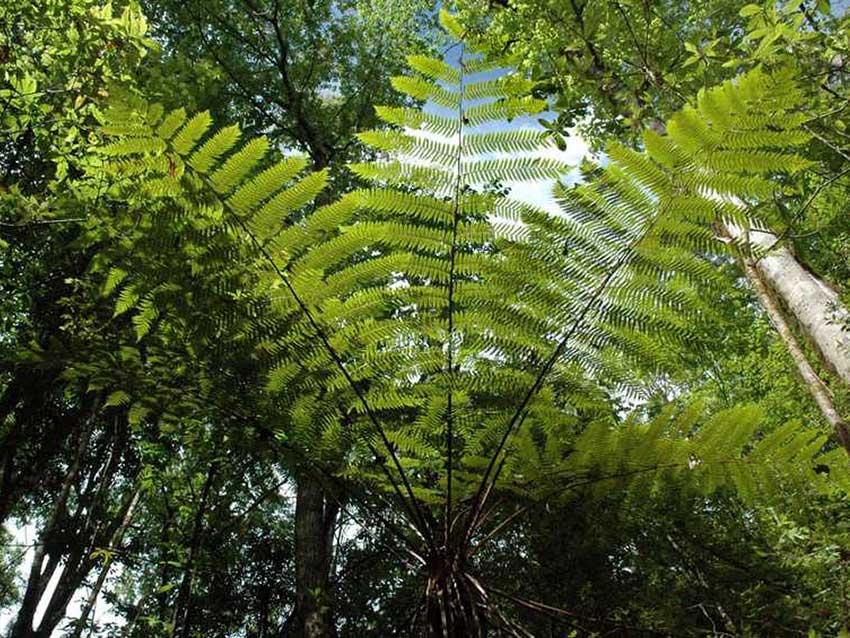 Tree Fern Cyathea costaricensis.
