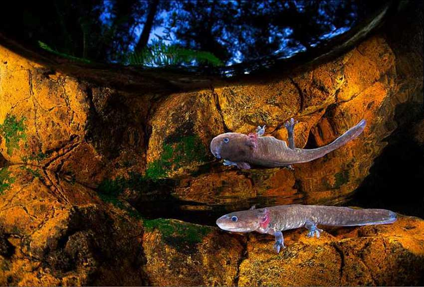 Axolotls are safe in the Manantlán Reserve
