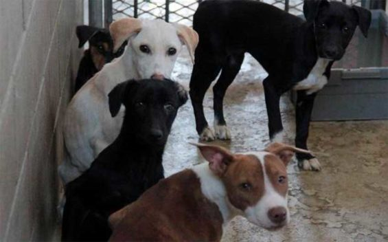 Mexicali's dogs: some are looking for a home.