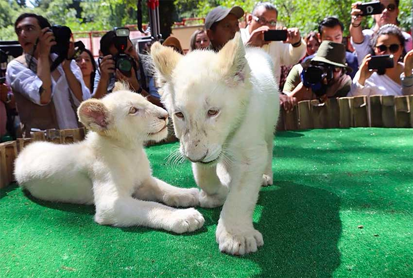 White lion twins meet the public at the Tlaxcala zoo.