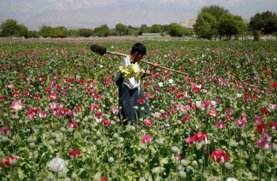 A poppy farmer tends his crop.