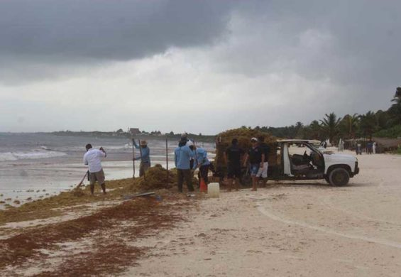 A truck is loaded with sargassum on a Quintana Roo beach.