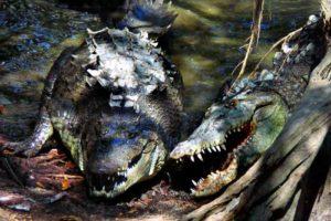 Loved by the locals, these may be the world's happiest crocs