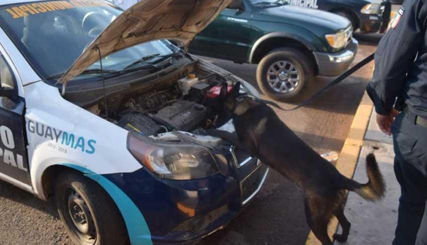 A police dog checks a Guaymas police patrol car for drugs.