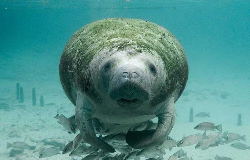 research being conducted on manatees