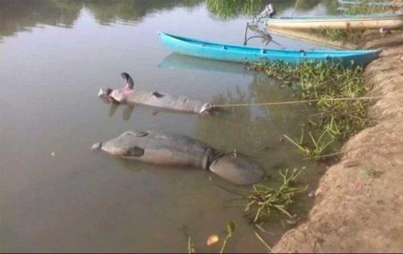 Dead manatees in Tabasco.