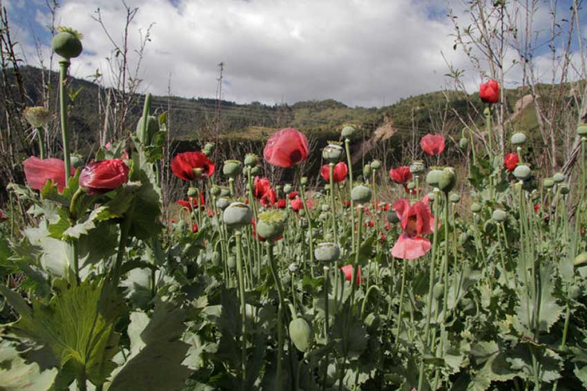 Guerrero is the biggest producer of opium poppies in Mexico.