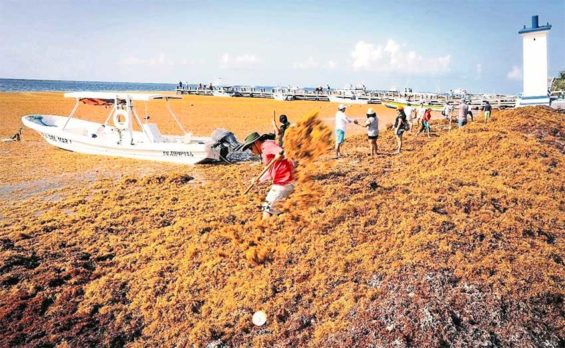 Sargassum clean-up in Quintana Roo.
