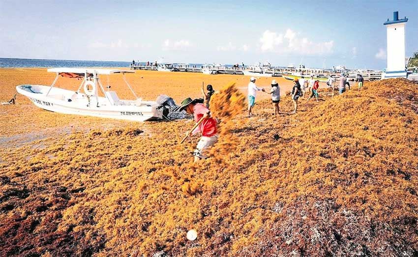 Tourism down 30-35% due to sargassum: Playa del Carmen mayor-elect