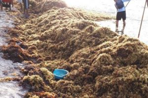 A worker rakes up sargassum in Quintana Roo.