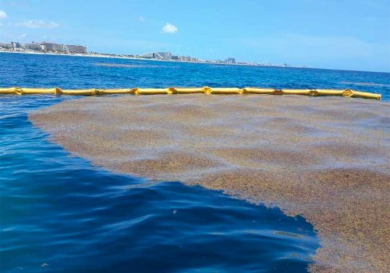 Sargassum gathers behind one of the new barriers.