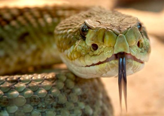 As many as 137,000 people die every year from snake bites.