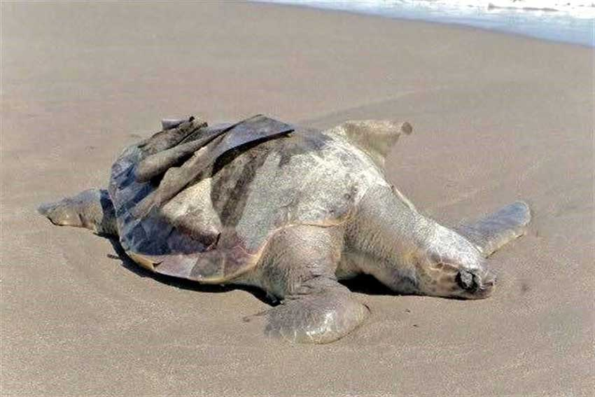 Dead turtles first appeared on a Chiapas beach nearly a month ago.