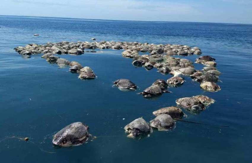 Dead turtles off the coast of Oaxaca this week.