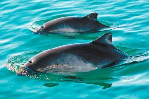 Two of the few vaquitas that remain.