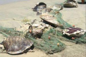 Turtles that were trapped in fishing nets in Oaxaca.