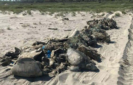 Dead turtles found in Guerrero.