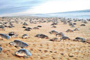 Turtles arrive on a Oaxaca beach to lay their eggs.