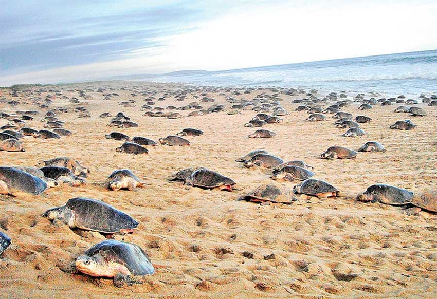 Turtles arrive on a Oaxaca beach to lay their eggs.