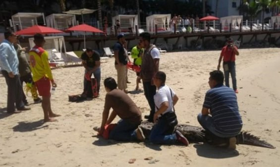Crocodile is restrained on PV beach.